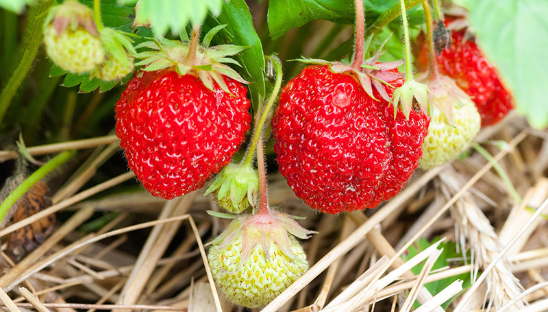 Ripe strawberries ready to be picked